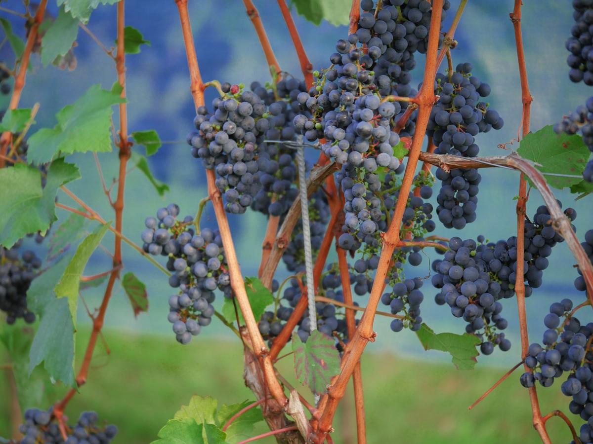 Immagine per La nuova tangenziale di Cervignano del Friuli minaccia l'antico vitigno dell'Obiz