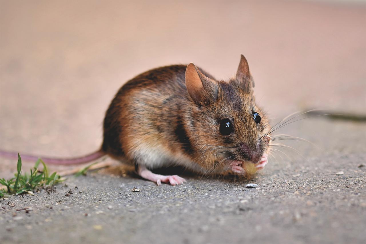 Immagine per Richiedente asilo colpito dalla febbre del topo, ricoverato a Gorizia un 33enne